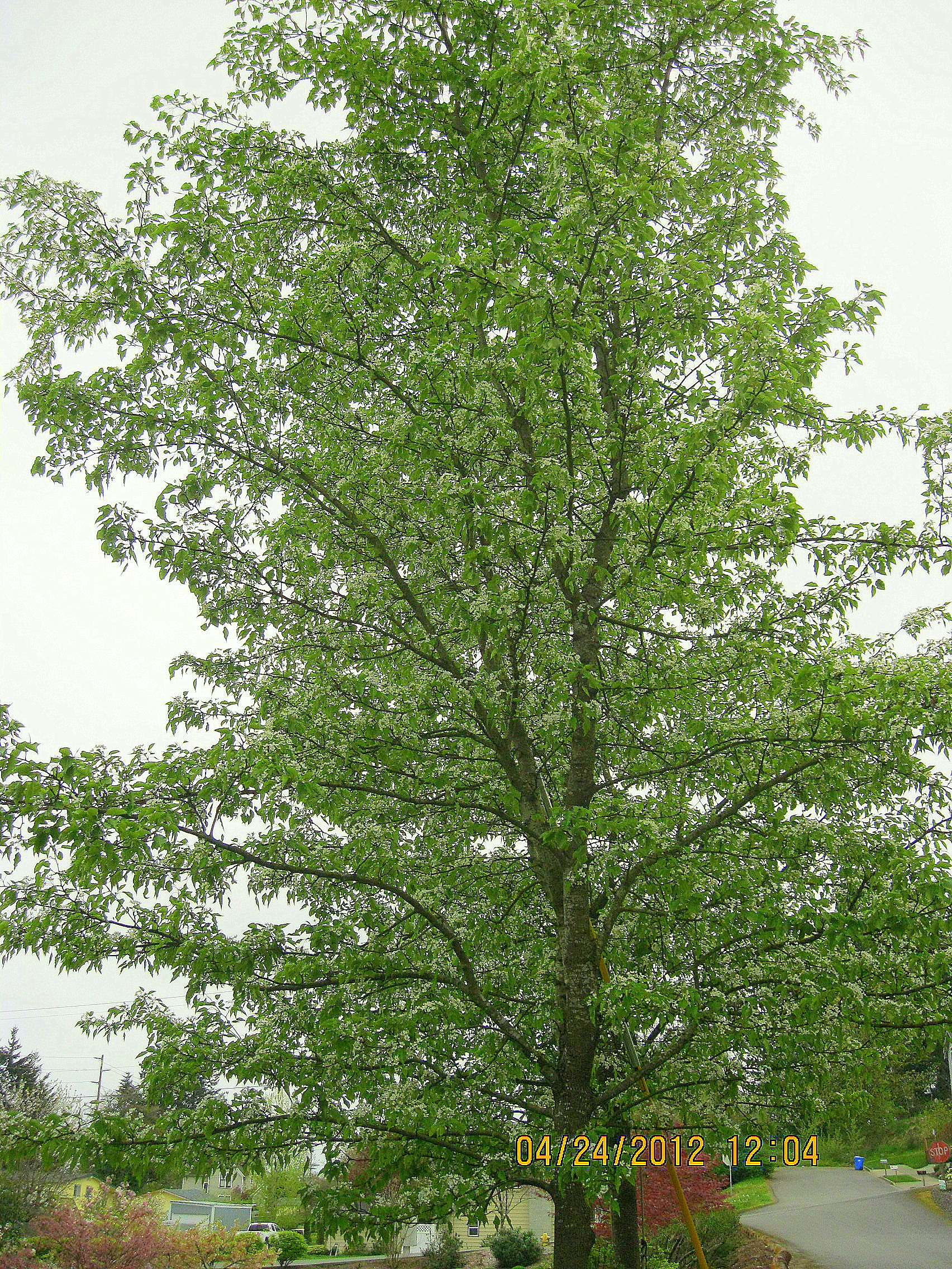 Ornamental shade trees before and after dana hoaglund for Ornamental trees that grow in shade